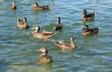Group of brown female duck mallard swimming  on the water Stock Photo - 13991048