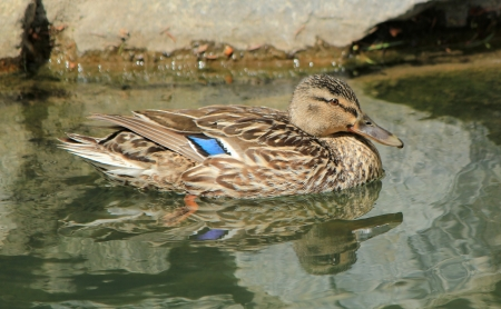 Brown female duck mallard swimming quietly on the water next to rocks Stock Photo - 13991044