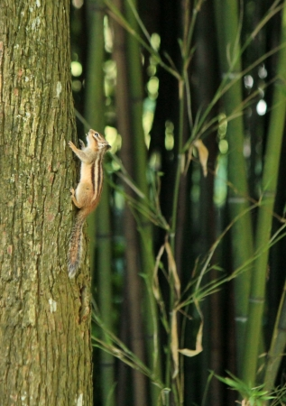Brown chipmunk climbing a trunk in the nature photo