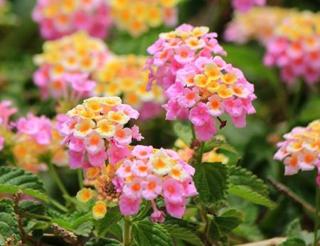 lantana: Beautiful pink lantana camara flowers