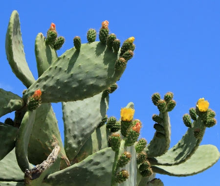 Chumbera nopal cactus plant with flowers at Santorini, Greece photo