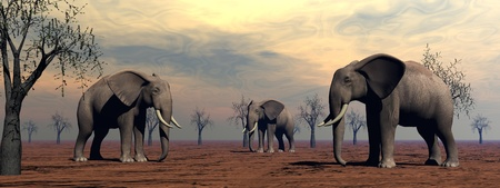 Three elephants standing between baobabs in the savannah by morning light photo