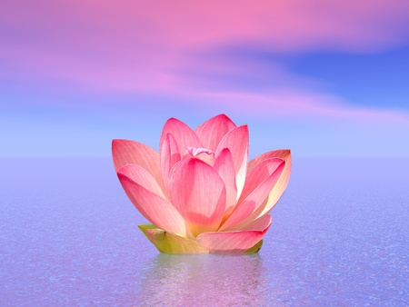 nymphaea: Pink lily flower on the water under cloudy morning sky