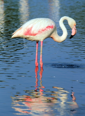 Beautiful white flamingo standing in the water photo