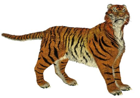 panthera: Big beautiful tiger standing in white background