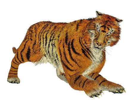 felidae: Big beautiful tiger hunting in white background