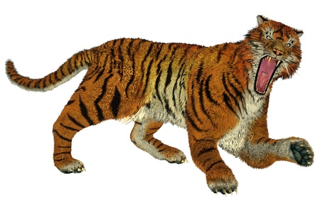 Big beautiful tiger raging in white background photo
