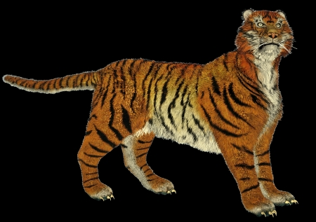 Big beautiful tiger standing in black background