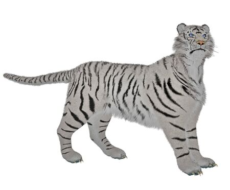 White tiger standing in alert pose in white background photo