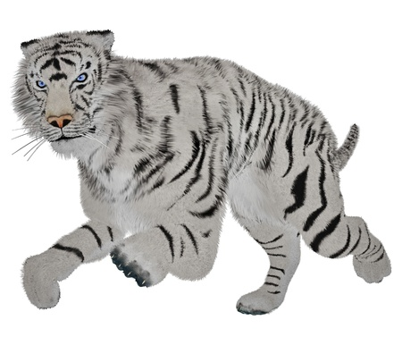 White tiger running in white background photo