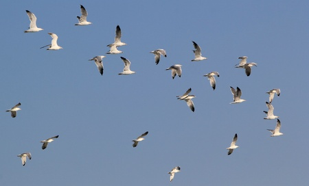 seabirds: Group of seagulls flying in deep blue sky by beautiful weather