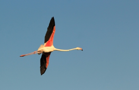 legs wide open: Beautiful pink flamingo flying with wing wide open in the deep blue sky of Camargue, France