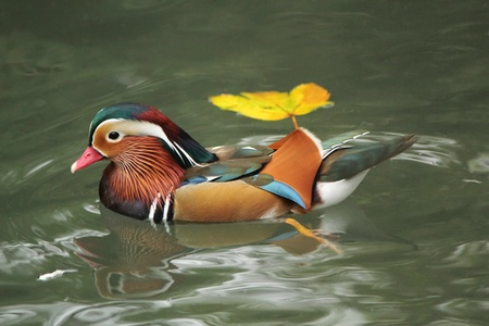 Mandarin duck floating on the water next to an autumn leaf Stock Photo - 16032720