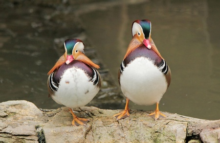 Two mandarin duck standing one next to the other rocks next to a pond Stock Photo - 16025122