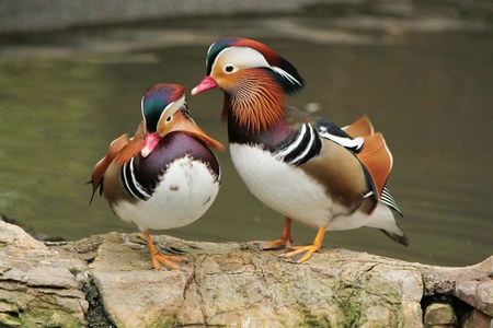 One mandarin duck cleaning the other while standing on rocks next to a pond Stock Photo - 16025121