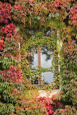 Close up of a window surrounded with colorful ivy autumn leaves