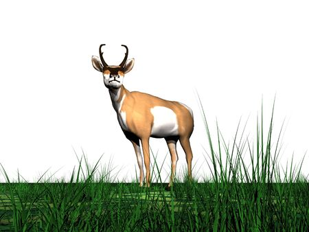 One pronghorn antelope standing in the green grass in white background Stock Photo - 16154989