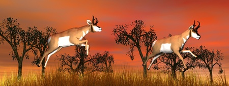 Two pronghorn antelope jumping upon yellow grass and among trees by beautiful red sunset photo