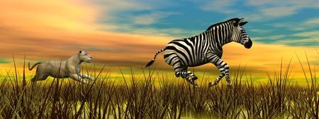 Llioness corriendo detrás de una cebra en la naturaleza por la puesta de sol