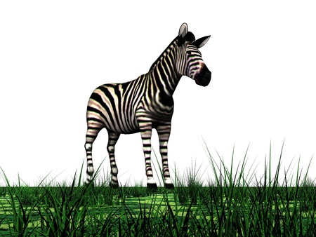 Zebra standing in the green grass in white background