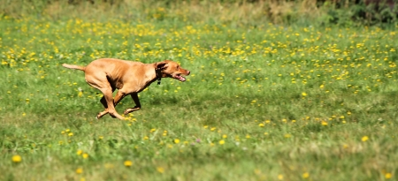 Brown rhodesian ridgeback running fast among yellow spring flowers and green grass photo