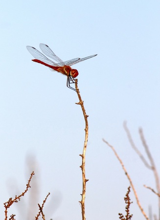 Beautiful typical red scarlet dragonfly of Camargue standing on a little branch, France photo