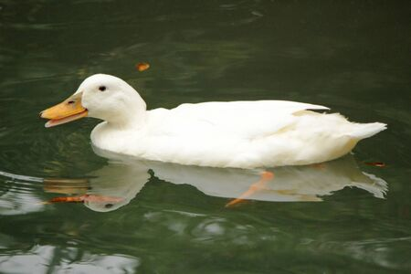 White duck swimming in the water with its beak open Stock Photo - 16250690