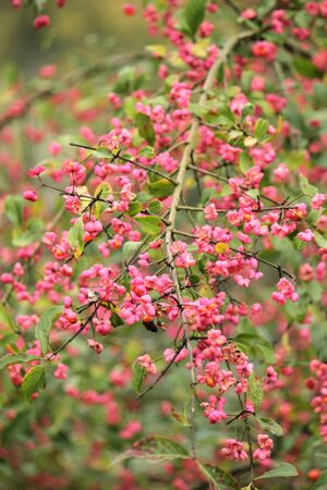 Branch of toxic spindle tree berries photo