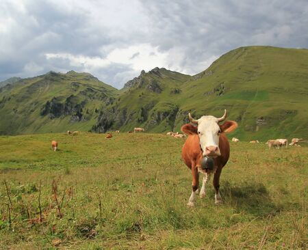 Perplexed white and brown cow in the Alps mountains by stormy weather, Switzerland photo