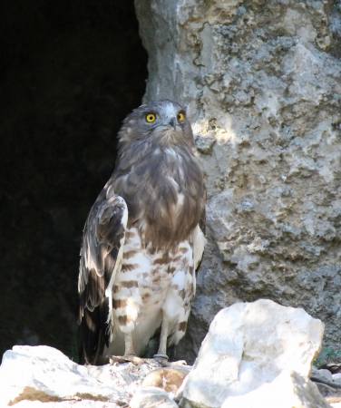 eyes cave: Beautiful eagle standing on stone and showing its yellow eyes Stock Photo
