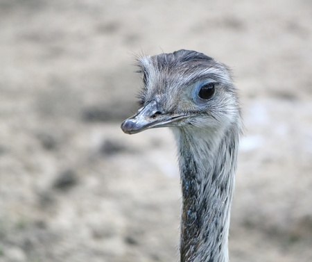 Close up of an emu face in blurry background photo