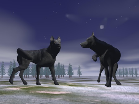 Two wolves on snow ground with woods in the background by night photo