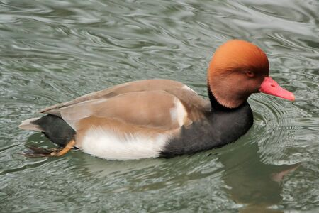 Colorful pochard duck looking at the photographer with its red eye while floating on the water photo