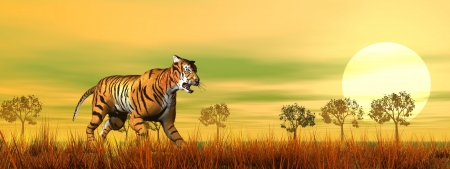Beautiful tiger walking in the savannah by sunset Stock Photo - 16801288