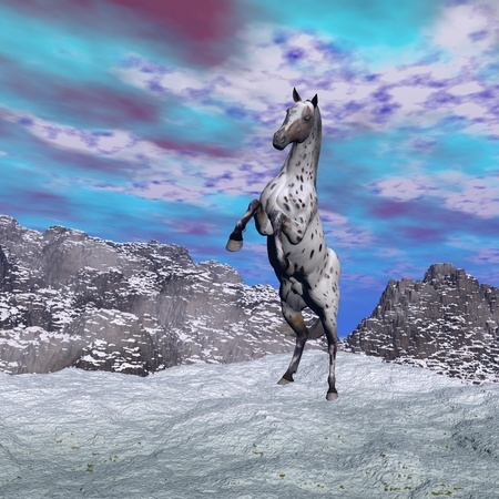 snow leopard: Beautiful leopard appy horse rearing on the snow in the mountain