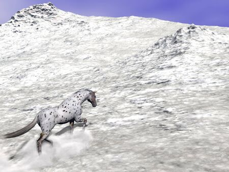 Beautiful leopard appy horse climbing on the snow to the top of the mountain