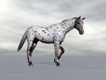 Beautiful leopard appy horse standing in grey cloudy background