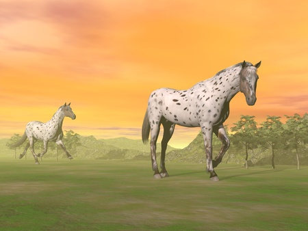 Two beautiful leopard appy horses in the nature by sunset