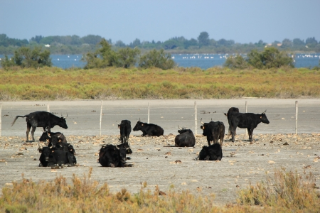 Herd of typical bulls of Camarge resting in the nature by beautiful summer day, France photo
