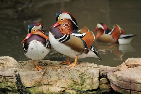 Two mandarin ducks standing on rocks next to a pond where another is swimming photo