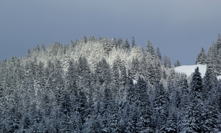 Beautiful fir trees covered with snow in the Jura mountain by cloudy day of winter, Switzerland Stock Photo - 17256694