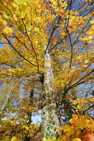 Beautiful autumn tree with colorful leaves and trunk Stock Photo - 17256698