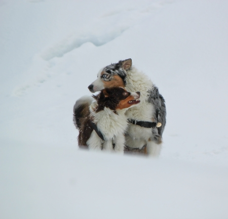 Female and male australian shepherd dogs standing together in the snow by winter day Stock Photo - 17431352