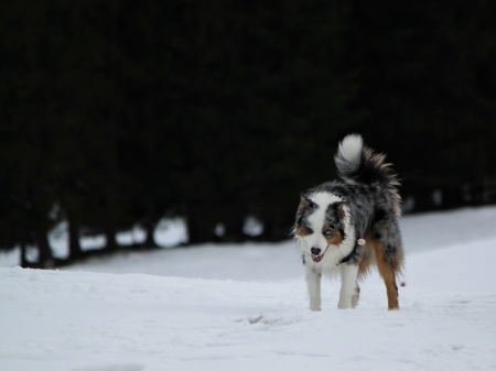 Male australian shepherd dog standing in the snow by winter day photo