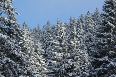 Close up of beautiful fir trees covered with snow in the Jura mountain by cloudy day of winter, Switzerland Stock Photo - 17431434