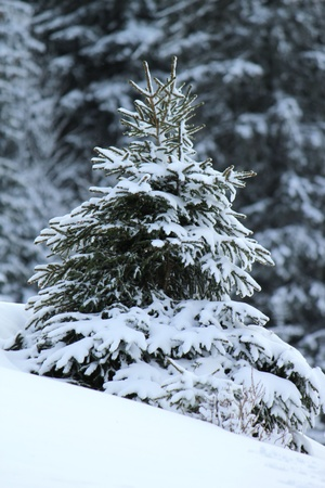 Beautiful small fir tree covered with snow in the Jura mountain by cloudy day of winter, Switzerland Stock Photo - 17431380
