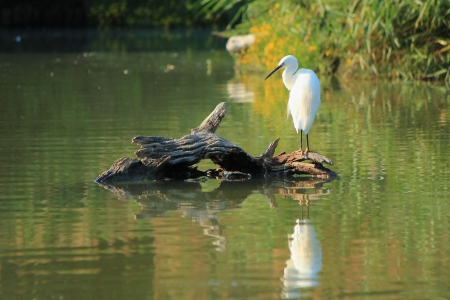 Beautiful white egret bird standing quietly on a trunk in the middle of a pond Stock Photo - 17902979