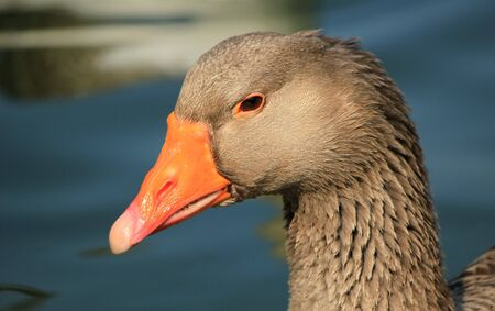 Close up of a wild goose head and water background Stock Photo - 17902985