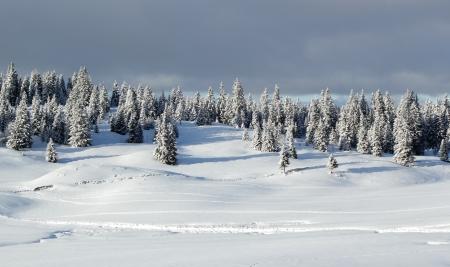 Beaux sapins couverts de neige dans le Jura par jour nuageux de l'hiver, Suisse Banque d'images