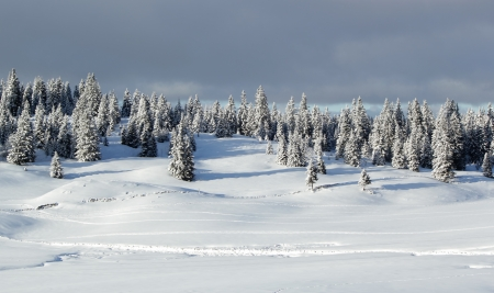 Beautiful fir trees covered with snow in the Jura mountain by cloudy day of winter, Switzerland